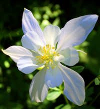 A Coville\'s Columbine on Mt. Timpanogos