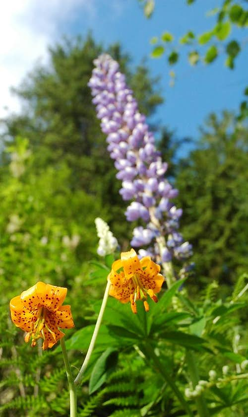 Tiger Lilies and Arctic Lupine