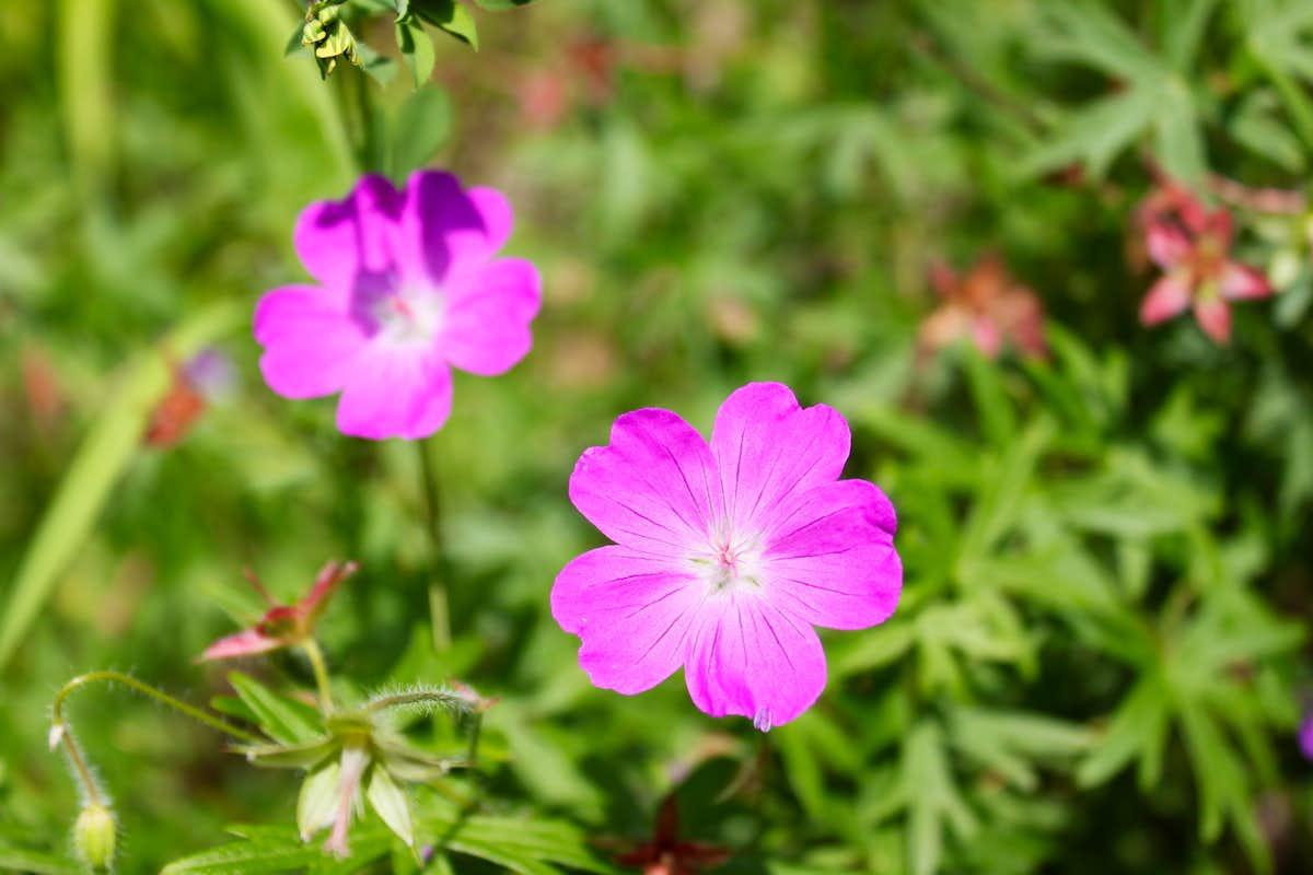 pink wildflower s Diagrams & Topos SummitPost