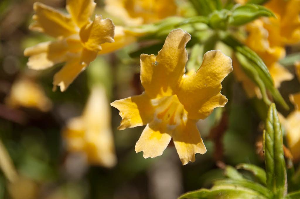 Bush Monkey Flower (<i>Mimulus aurantiacus</i>)