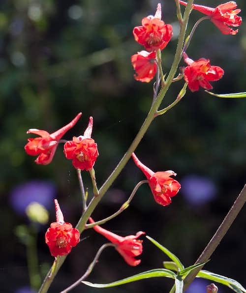 Scarlet Larkspur (<i>Delphinium cardinale</i>)