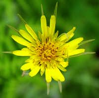 A Yellow Salsify on Mt Timpanogos