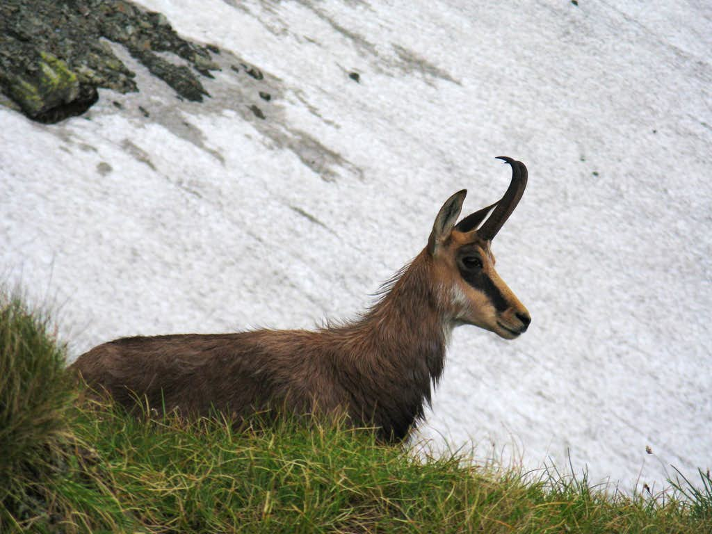 The Carpathian Chamois<br> <i>(Rupicapra rupicapra carpatica)</i>
