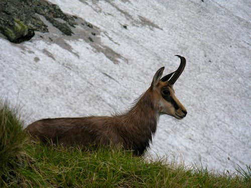 The Carpathian Chamois<br> <i>(Rupicapra rupicapra carpatica)<i>