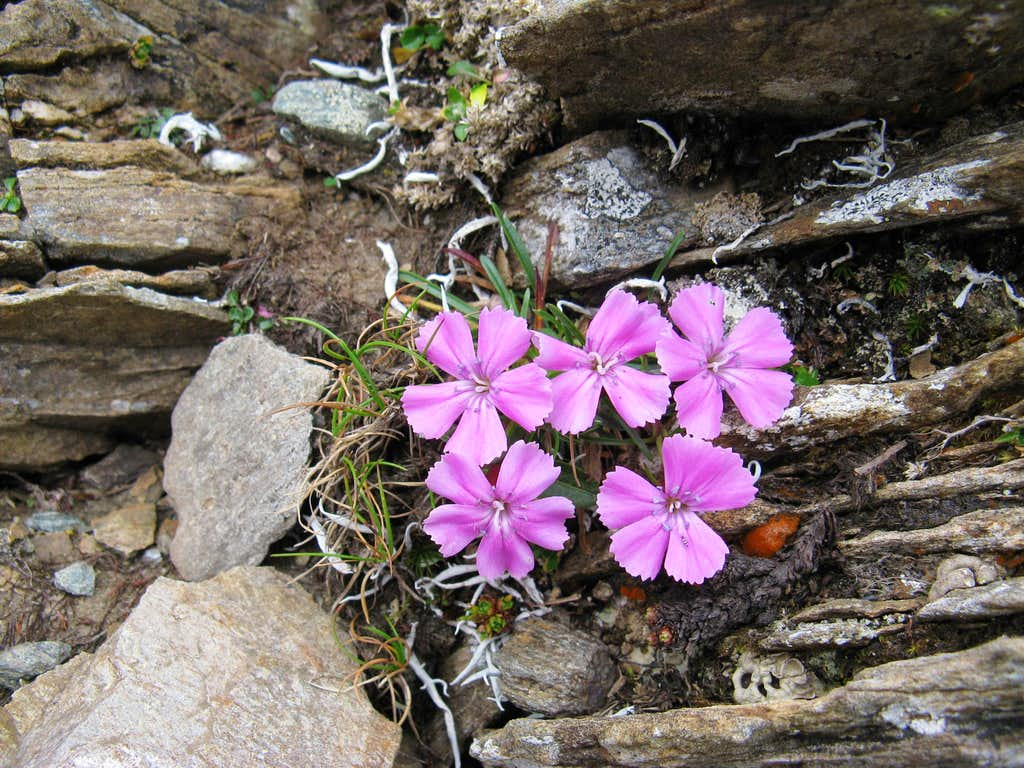 Carnation species