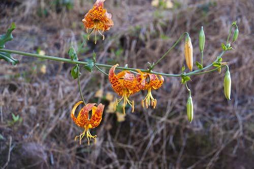 Humboldt Lily (<i>Lilium humboldtii</i>)