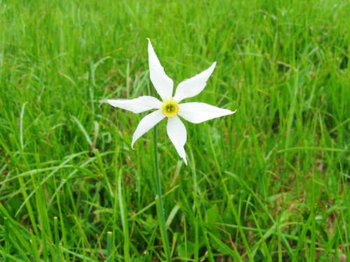 Narrow-leaved narcissus <br><i>(Narcissus radiiflorus)</i>