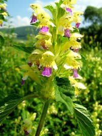Large-flowered Hemp Nettle