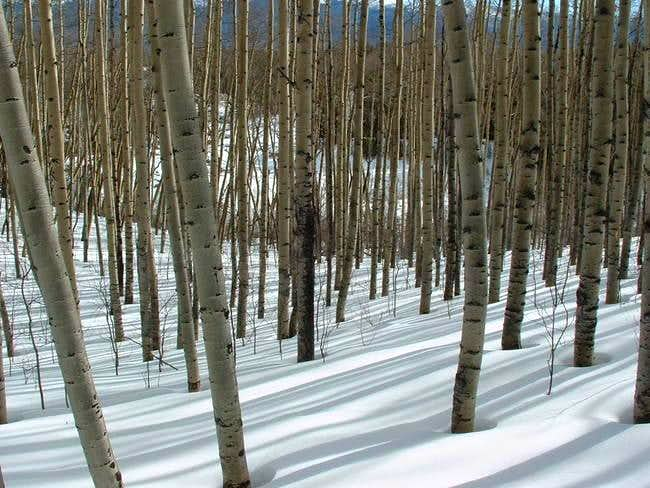 A peaceful glade of aspen...