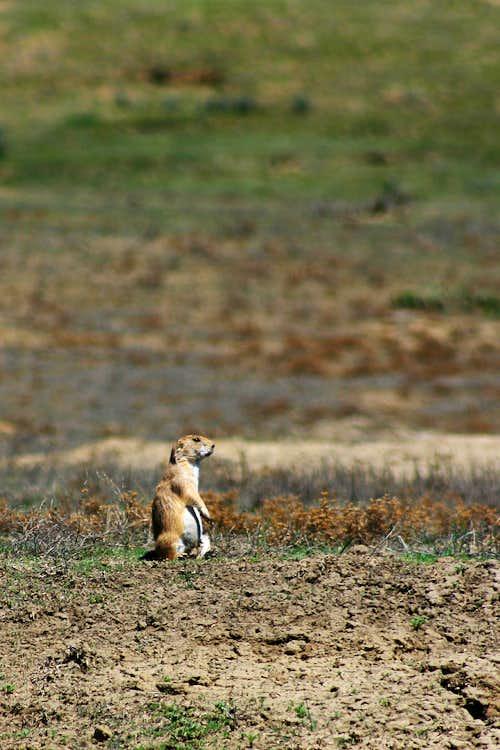 A Heroic Prairie Dog