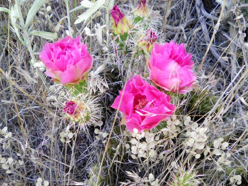 Blooming prickley pear