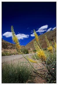 Desert Prince's Plume