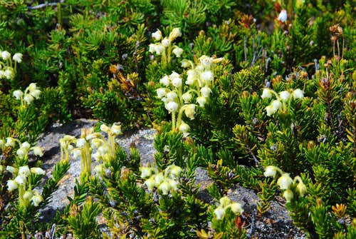 Yellow Mountain Heather