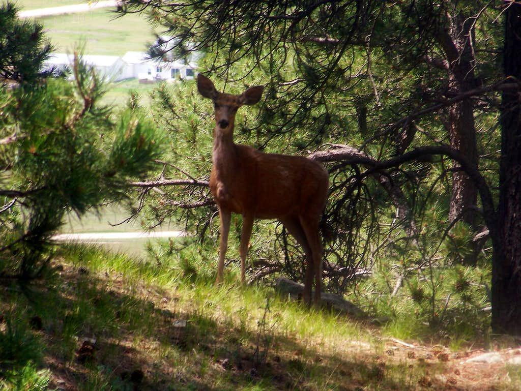Deer on Rattlesnake Butte