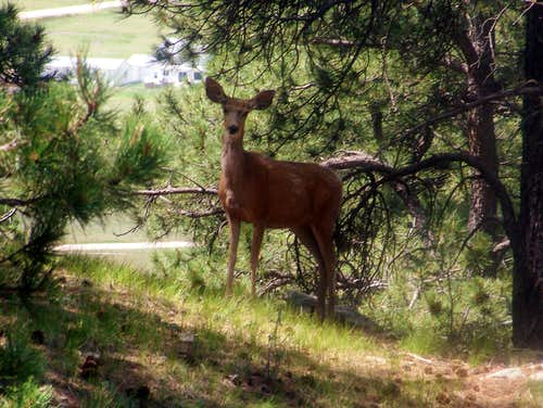 Deer on Rattlesnake Butte