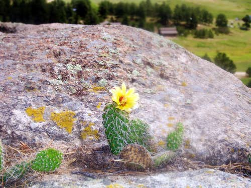 Prickly Pear on Rock