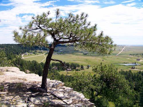 Stunted Pondersa Pine