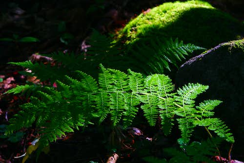 Ferns and Moss in the Adirondacks
