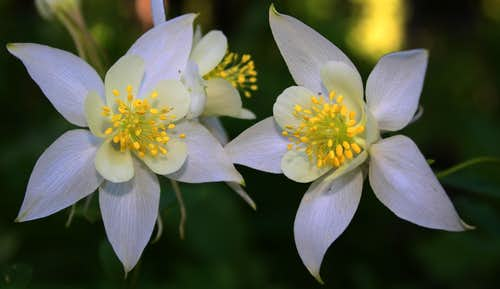 A pair of Coville\'s Columbines on Reyonlds Peak