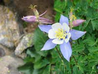 Dwarf Columbines on the upper...