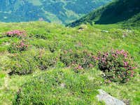 Alpine rhododendron bushes between Stubnerkogel and Zittrauer Tisch