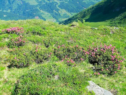 Alpine rhododendron bushes between Stubnerkogel and Zittrauer Tisch