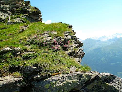 Alpine rhododendrons on the Zittrauer Tisch descent
