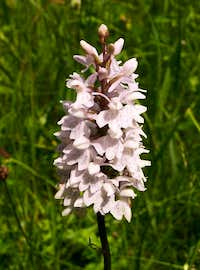 Common Spotted Orchid...