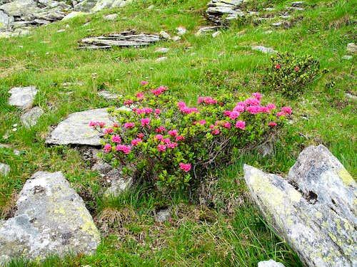 Alpine rhododendron bush