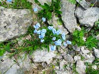 Beautiful forgetmenots (Myosotis) on the path below the Zittrauer Tisch