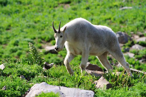 A Timpanogos Billy Goat