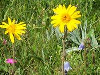 Petit Mont Cenis Flora I