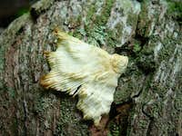 White Fungus on Log Near Summit