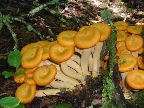 Orange Mushrooms Near Thomas Divide Trail