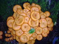 Profusion of Small Orange Mushrooms