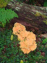 Laetiporus on Thomas Ridge