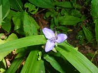 Spiderwort on Nettle Creek Bald