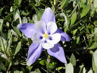 Engineer Mountain Columbine