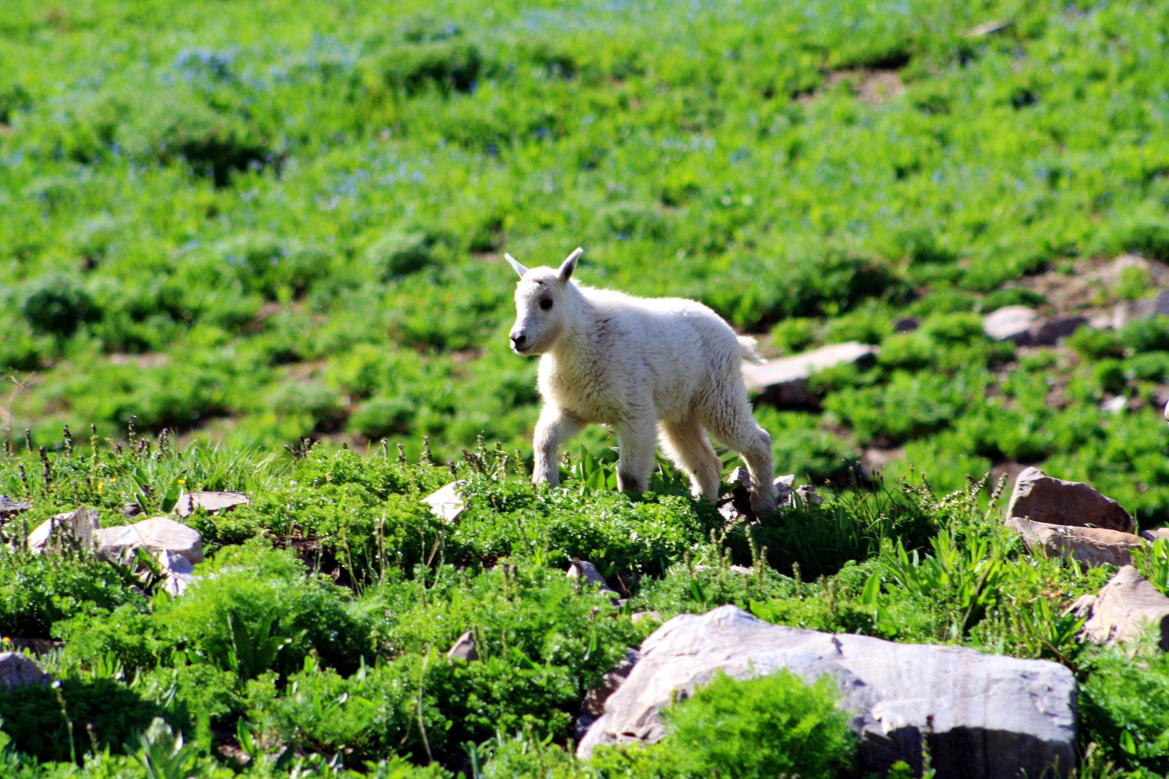 The Billy Goats of Mount Timpanogos