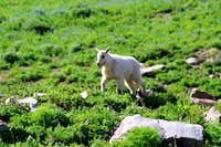 A Cute Baby Mountain Goat on Timpanogos