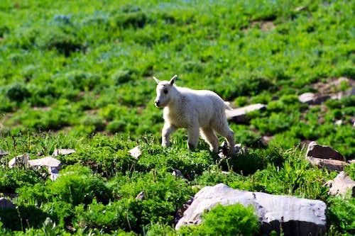 A Cute Baby Mountain Goat on Timpanogos