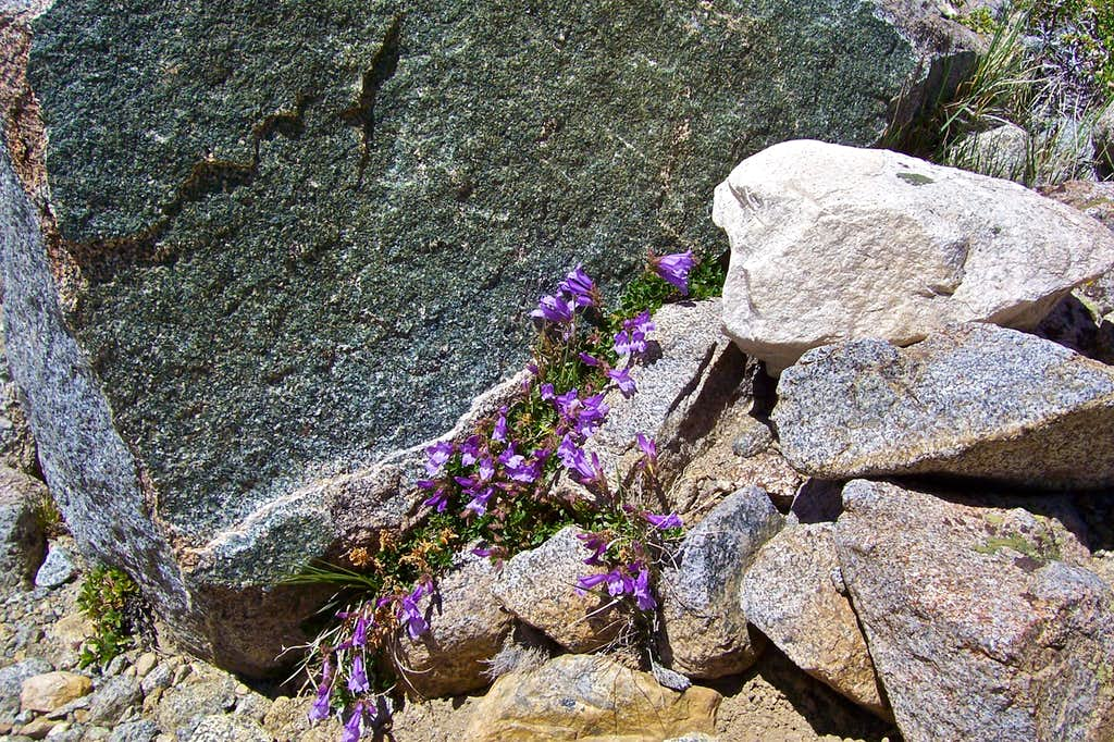 Wild flowers at nearly 12000 feet