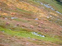 A herd of chamois