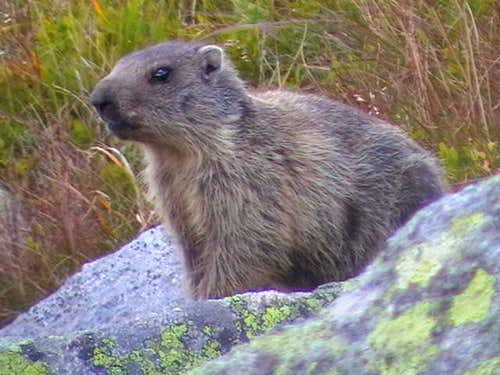 Portrait of marmot