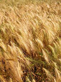 Barley cultivation...