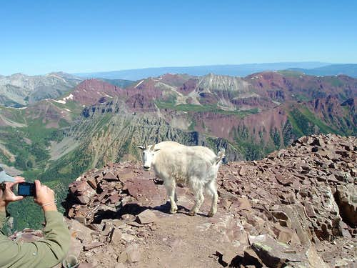 Summit Mountain Goat