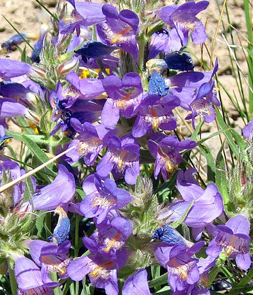Mountain Penstemon