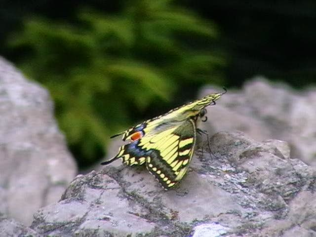 Papilio machaon - Wikipedia | 480x640