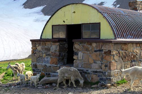 A Mountain Goat Family Checks out the Emerald Lake Shelter