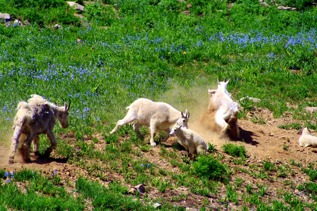 A Dramatic Mountain Goat Fight